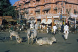 Jaipur, cattle in busy central street