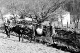Family farming with cattle in Svanetia