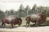 Buffaloes at Washington Park Zoo, Milwaukee