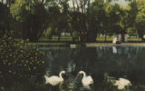 Swans at Soldier 's Home, Milwaukee