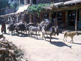 Donkey packtrain on road in Afghanistan
