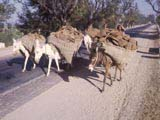 Pack-donkeys in India