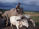 Oxen-pulled cart in India