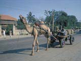Camel-pulled cart in India