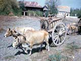Oxen-pulled cart in Thailand