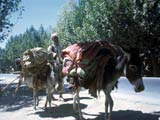 Pack-donkeys on road in Afghanistan